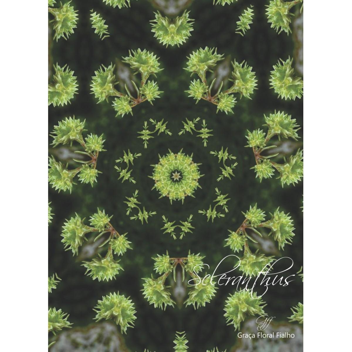 Poster Mandala Scleranthus