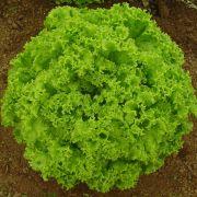 Semente Alface Solaris (Seminis) - 25.000 sementes