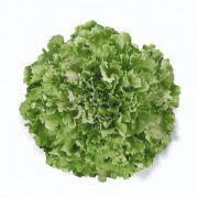 Semente Chicória Malan (Horticeres) - 5.000 sementes