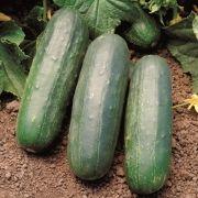 Semente Pepino Híbrido Eureka (Seminis) - 3.000 sementes