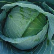 Semente Repolho Híbrido Astrus Plus (Seminis) - 5.000 sementes