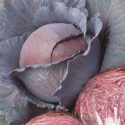 Semente Repolho Roxo Híbrido Red Dynasty (Seminis) - 1.000 sementes
