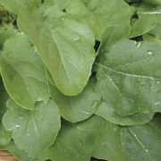 Semente Rúcula Astro (Sakata) - 100 gramas