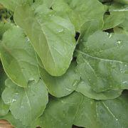 Semente Rúcula Astro (Sakata) - 500 gramas