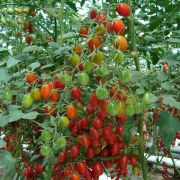 Semente Tomate Híbrido Cupido (Seminis) - 1.000 sementes