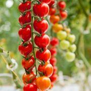 Semente Tomate Híbrido DRC 564 (Seminis) - 1.000 sementes