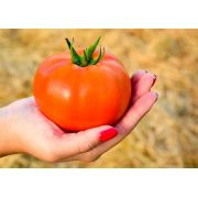 Semente Tomate Híbrido Coronel (SVTH0361) (Seminis) - 1.000 sementes