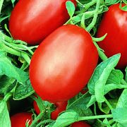 Semente Tomate Híbrido SM-16 (Seminis) - 1.000 sementes