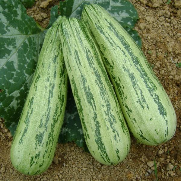 Semente Abobrinha PX 7051 Híbrida (Seminis) - 1.000 sementes