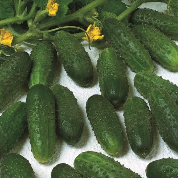 Semente Pepino Híbrido Marinda (Seminis) - 3.000 sementes