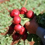 Semente Rabanete Híbrido Rafina (Bejo) - 5.000 sementes