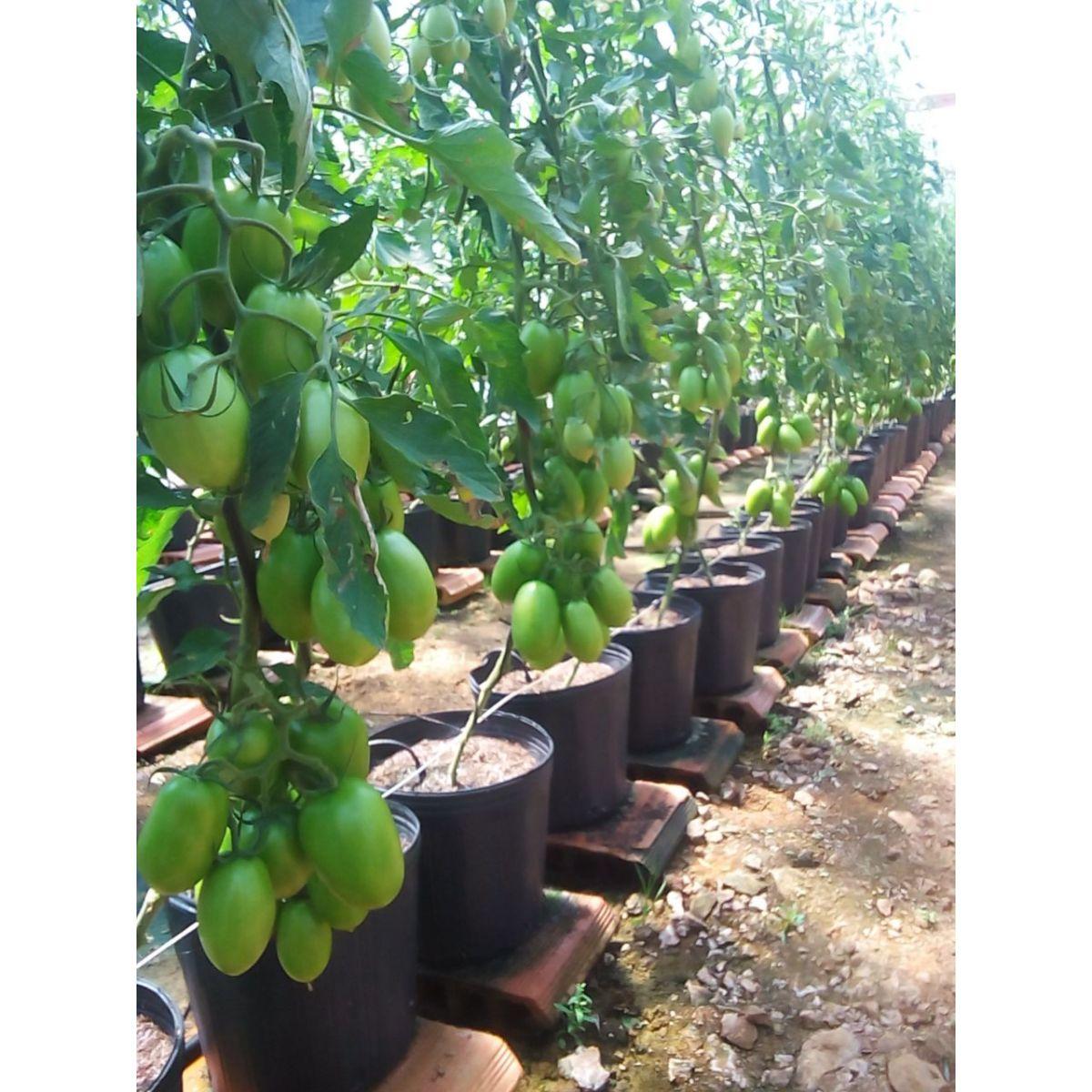 Semente Tomate Híbrido Vero (HS1188) (Horticeres Ouro) - 1.000 sementes
