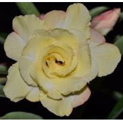 Rosa Do Deserto Amélia Cor Amarela Dobrada Tripla