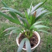 Muda da Palmeira Areca Bambu