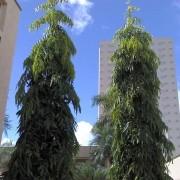 Muda de Árvore Mastro - Ashopala ou Choupala