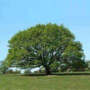 Muda de Carvalho Branco ou Europeu - Quercus Petraea
