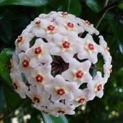 Muda de Flor de Cera - Hoya Carnosa
