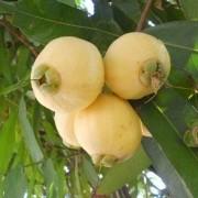 Muda De Jambo Amarelo - Produz Em 1 Ano