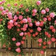 Muda de Mini Rosa Trepadeira