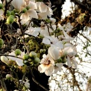 Muda de Paineira Branca ou Paineira da Pedra - Enxertada e Florindo