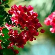 Muda de Primavera Vermelha - Bouganville