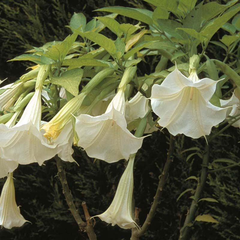 Muda daa Flor Trombeta de Anjo - Brugmansia Suaveolens