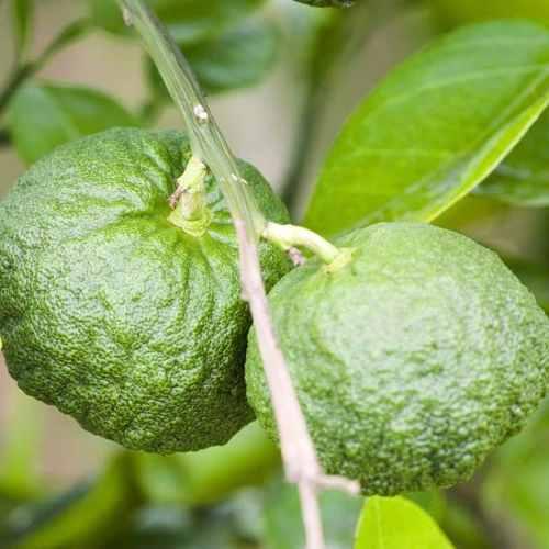 Muda De Cidra - Citrus Medica