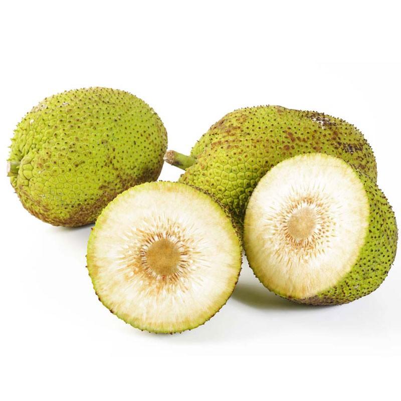Muda de Fruta Pão Clonada de Raiz - Frutos sem  Sementes