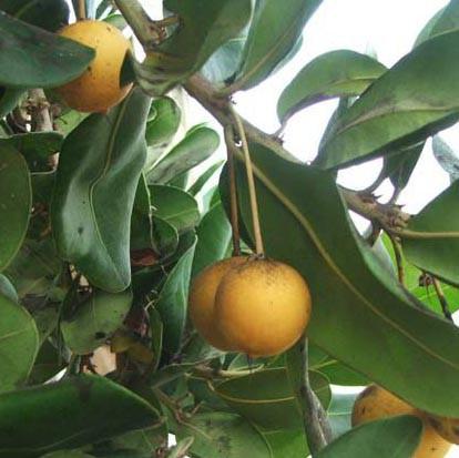 Muda de Maçaranduba do Caribe - Manilkara Bidentata