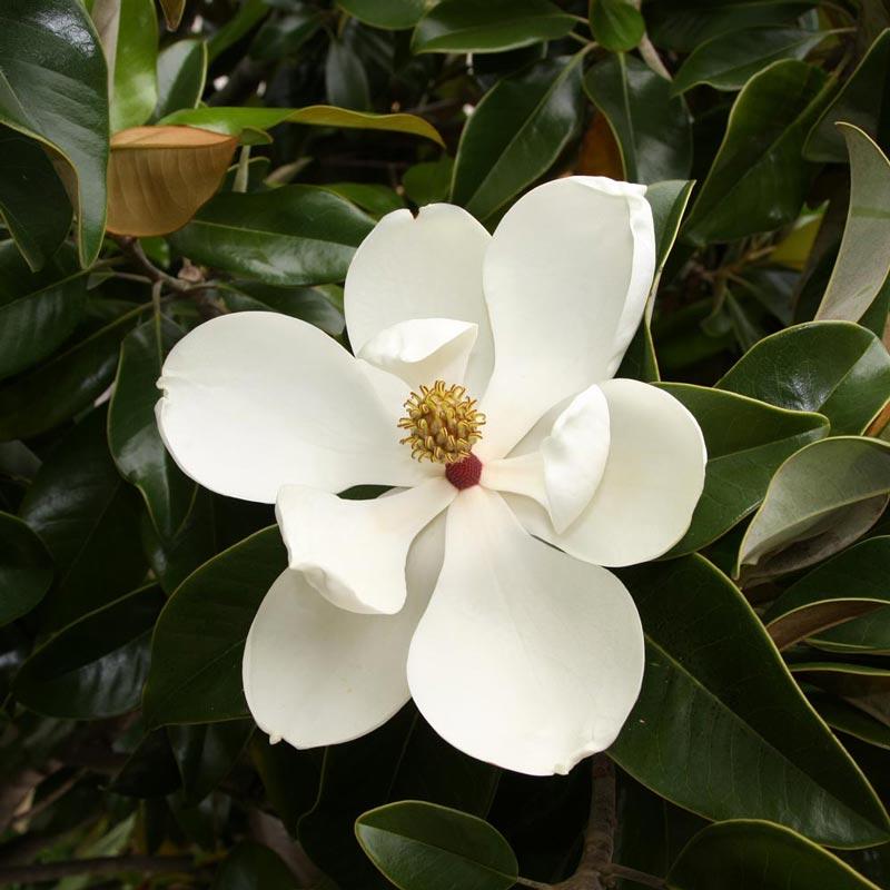Muda de Magnólia Branca - Magnolia Grandfilora