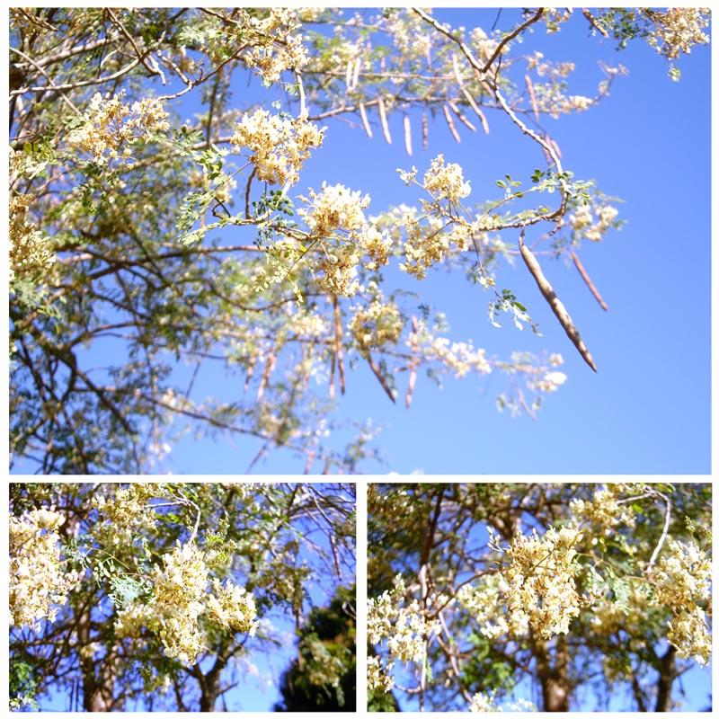 Muda De Moringa Oleifera - Purificadora De Água Natural