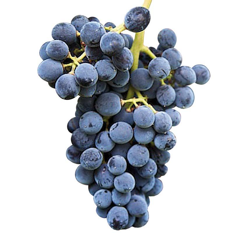 Muda de Uva Cabernet Sauvignon para Sucos e Vinhos - Enxertada