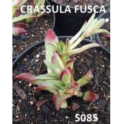 CRASSULA FUSCA  ( Africa do Sul )