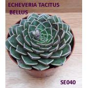 ECHEVERIA TACITUS BELLUS