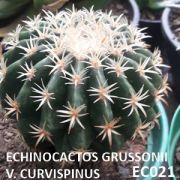 ECHINOCACTOS GRUSSONII V. CURVISPINUS