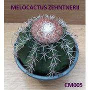 MELOCACTUS ZEHNTNERII- COROA DE FRADE