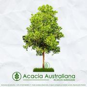 Sementes de Acacia Mangium Australiana - Mundo das Sementes