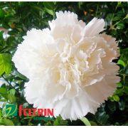 Sementes de Cravo Chabaud Gigante Dobrado Branco - Feltrin