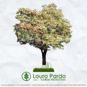 Sementes de Louro Pardo  - Cordia trichotoma - Mundo das Sementes