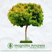 Sementes de Magnólia Amarela - Michelia champaca - Mundo das Sementes