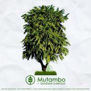 Sementes de Mutambo/Mutamba - Guazuma ulmifolia - Mundo das Sementes