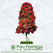 Sementes de Pau Formiga / Novateiro Rosa - Triplaris americana - Mundo das Sementes