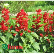 Sementes de Salvia Carabiniere Scarlet  - Feltrin