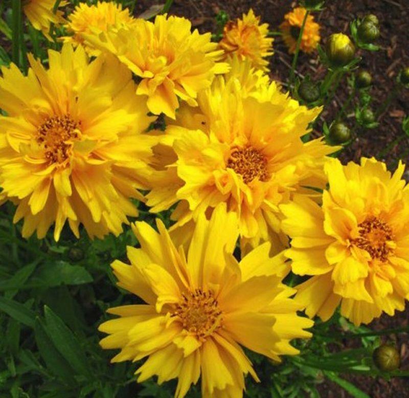 Sementes de Coreópsis Amarelo -  Feltrin