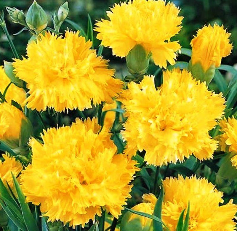 Sementes de Cravo Chabaud Gigante Dobrado Amarelo - Feltrin