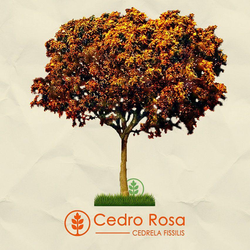 Kit Outono Tropical - 30 Sementes - Gonçalo, Resedá Gigante, Cedro Rosa - Mundo das Sementes