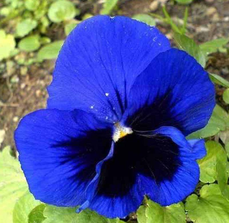 Sementes de Amor-Perfeito Azul Gigante Suíço - Feltrin