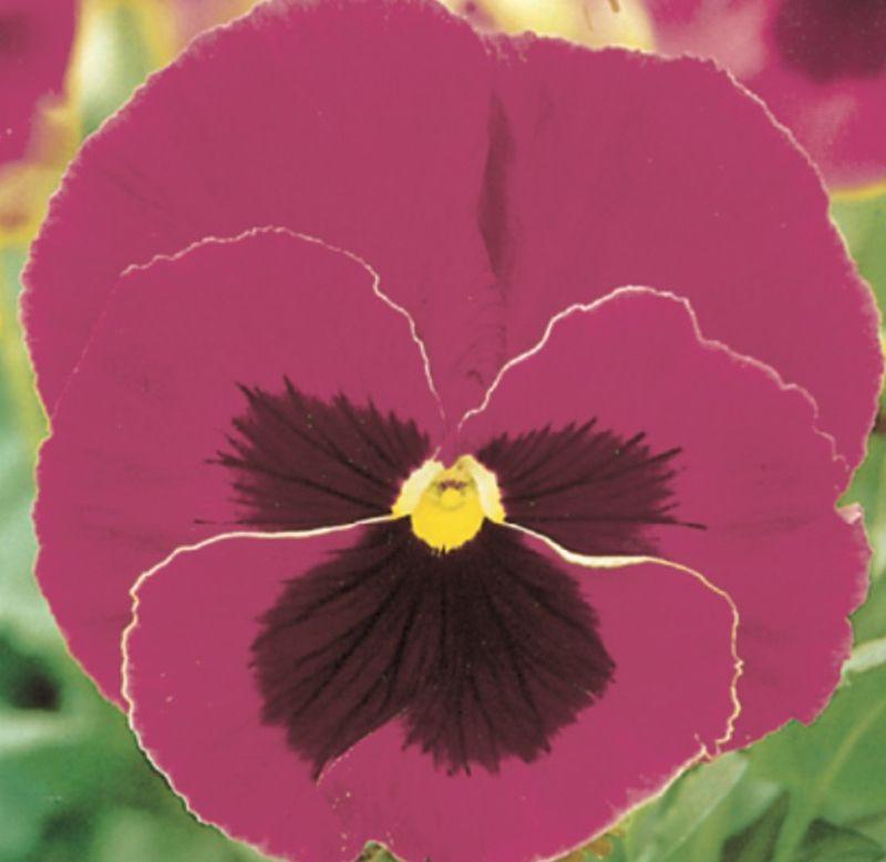 Sementes de Amor-Perfeito Púrpura Gigante Suíço - Feltrin