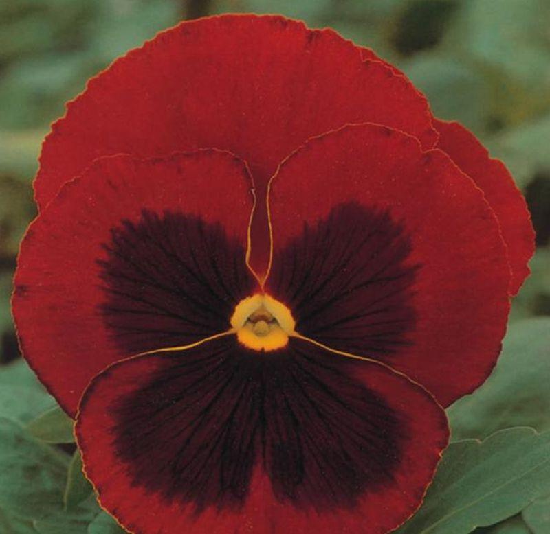 Sementes de Amor-Perfeito Vermelho Gigante Suíço - Feltrin