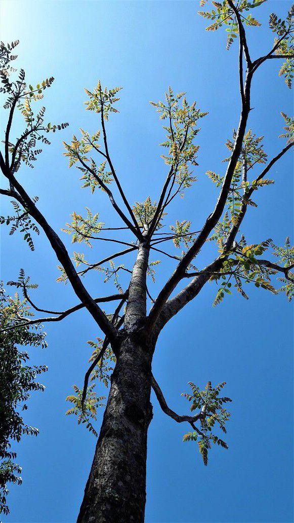 Sementes de Cedro Rosa - Cedrela fissilis - Mundo das Sementes